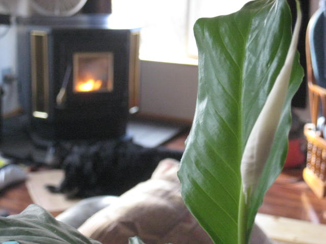 Peace lily, fire, and Moose